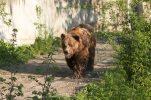 Berner Bär 1