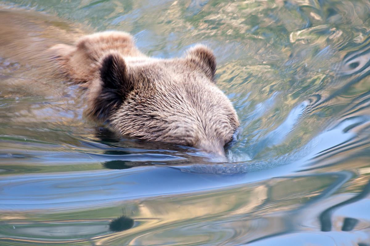 Berner Bär 2