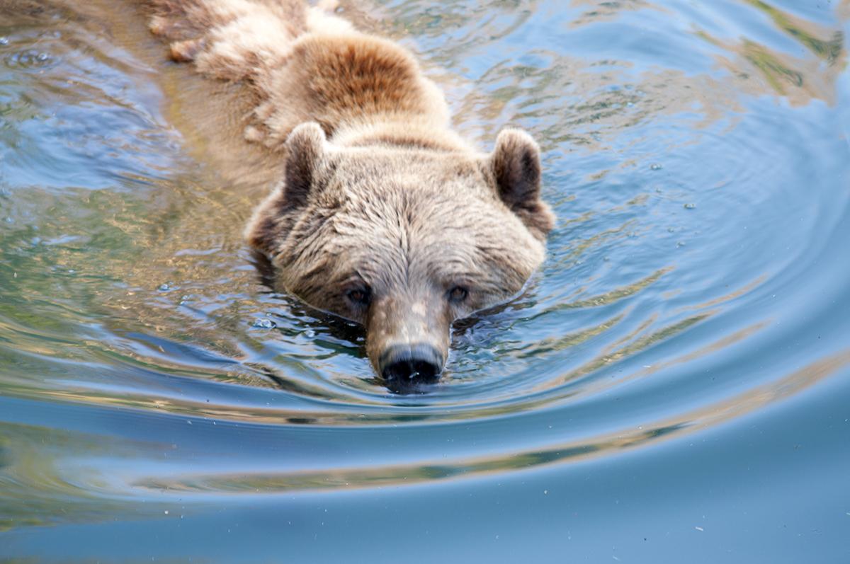 Berner Bär 3