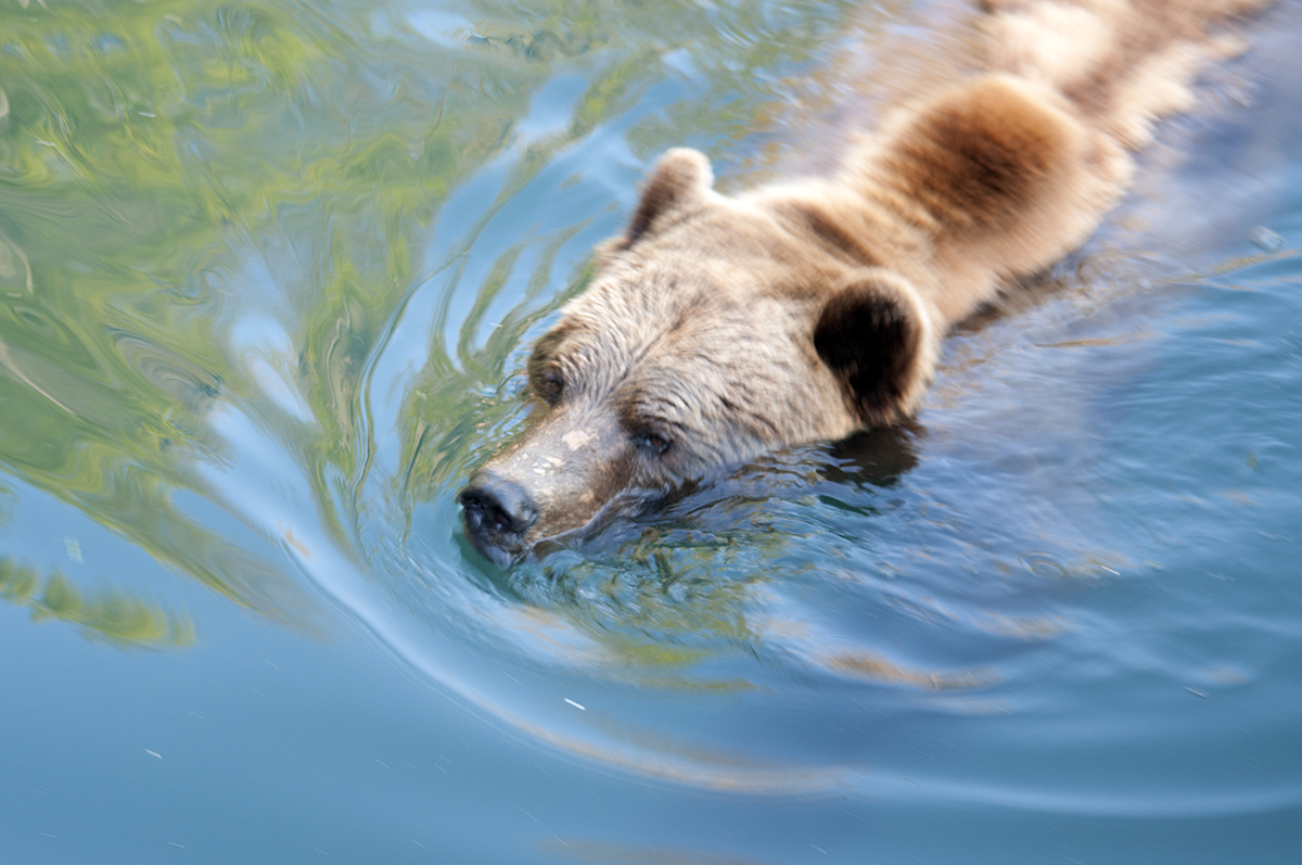 Berner Bär 4