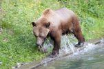 Berner Bär 5